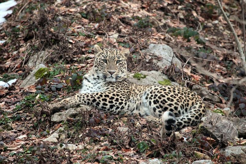 Пойманную вАбхазии самку леопарда отпустят после «аттестации»